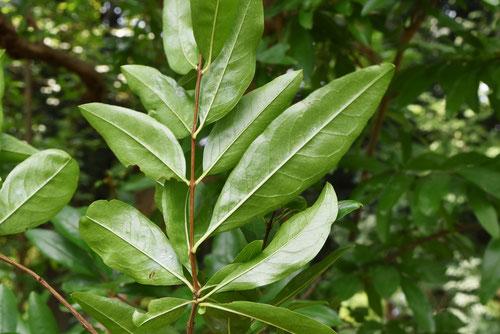 ザクロ,樹木