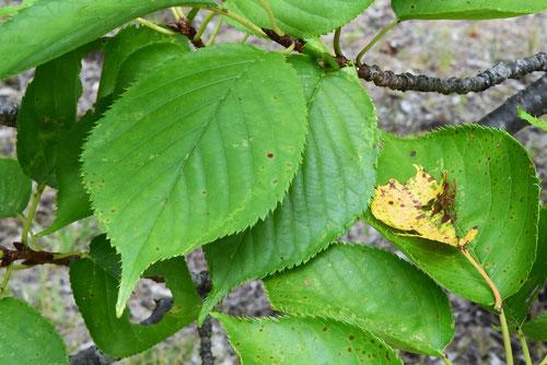 楊貴妃桜,葉