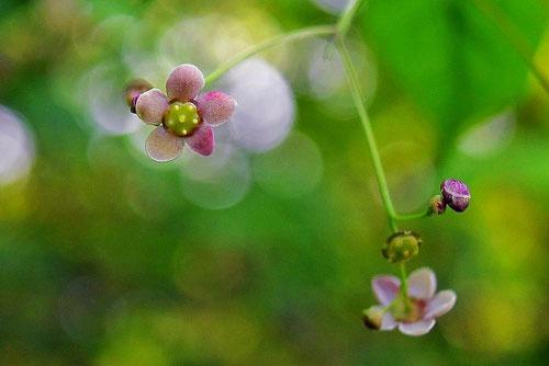 Korean spindletree