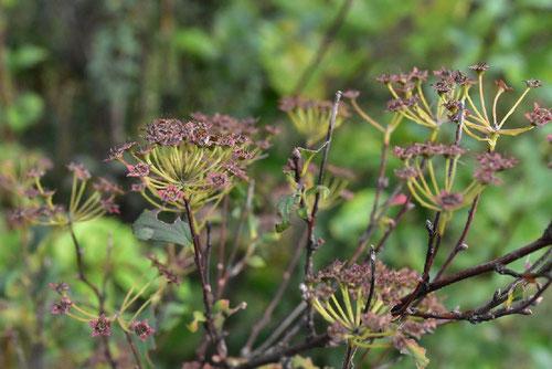 コデマリ 種子