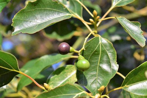 楠の実 となりのトトロの木