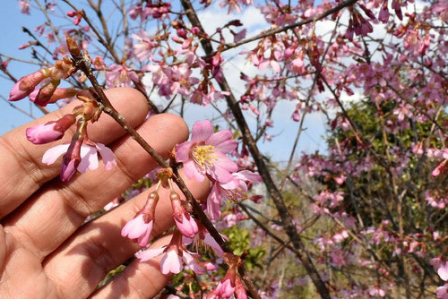 ピンクが濃い早咲きの桜