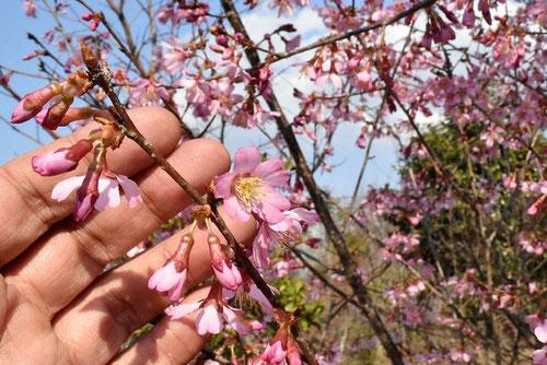 ピンクが濃い早咲きの桜,おかめざくら