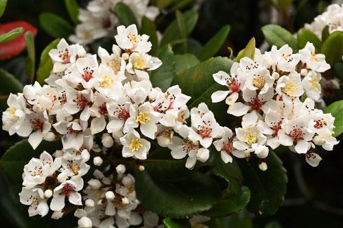 車輪梅の花 開花時期
