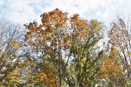 アカナラの木,あかなら,赤楢