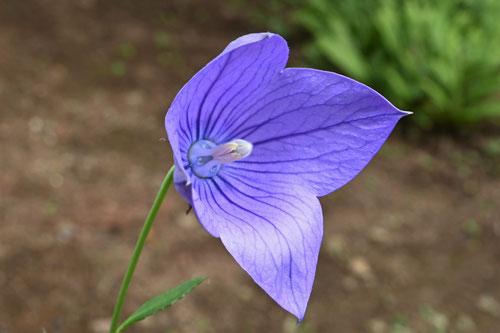 山野草,青い花,ききょう