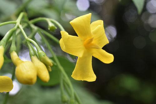 Yellow Jasmine,flower