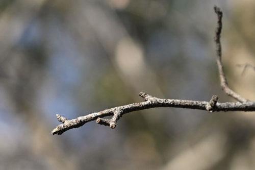 カマツカ,樹木,かまつか