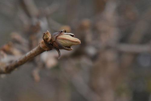 胡麻木の冬芽