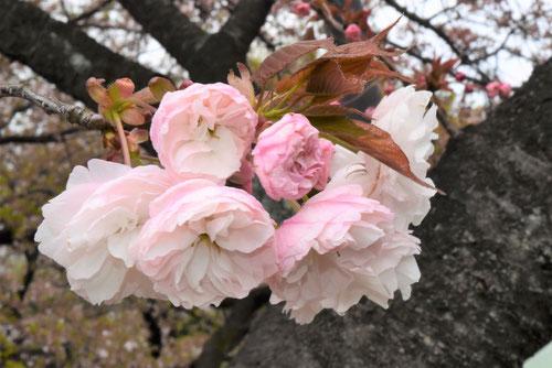 八重桜,種類,品種