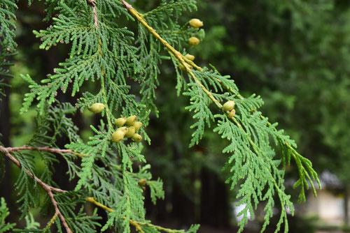 匂い桧葉,種子