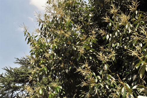 秋に咲く栗に似た花
