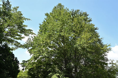 Japanese Judas tree