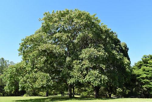 Soapberry tree