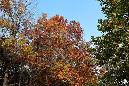 ピンオーク,木,アメリカガシワ