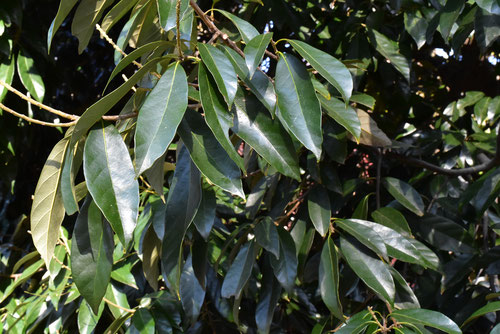 シリブカガシの葉っぱ