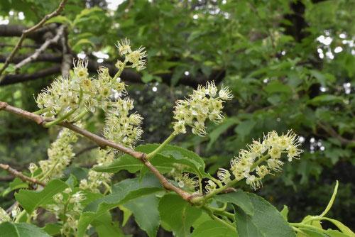 イヌザクラの花,特徴