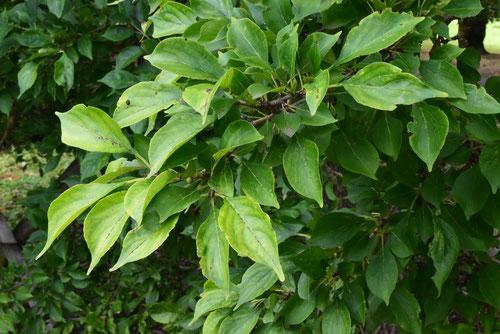 クロウメモドキの葉っぱ,特徴