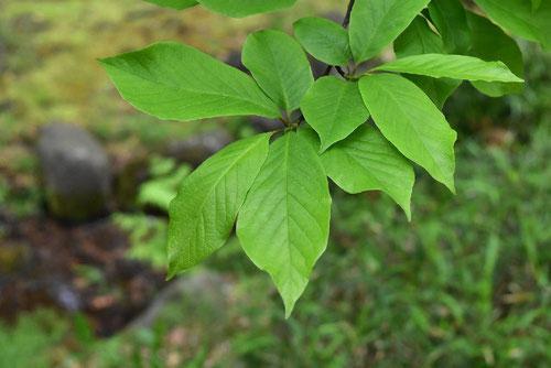 辛夷の葉,写真