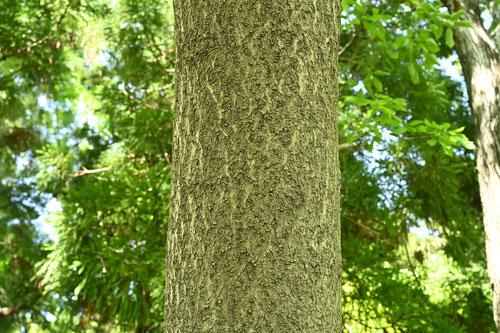 桐の木,特徴