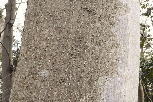 烏山椒の木の幹