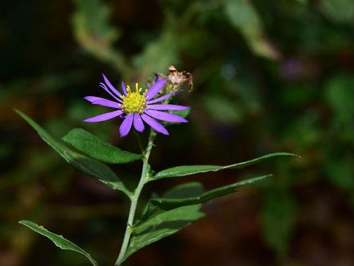 山野草 菊