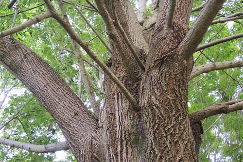 大葉菩提樹 画像