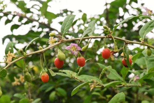 Wolfberry,ゴジベリー