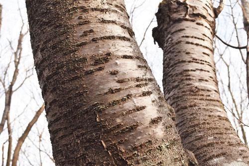 ヤマザクラ 樹皮 幹