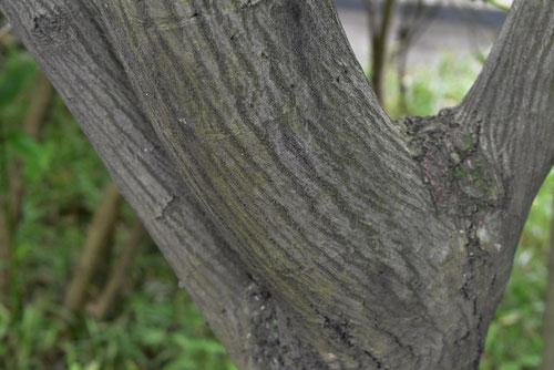 アメリカザイフリボクの幹