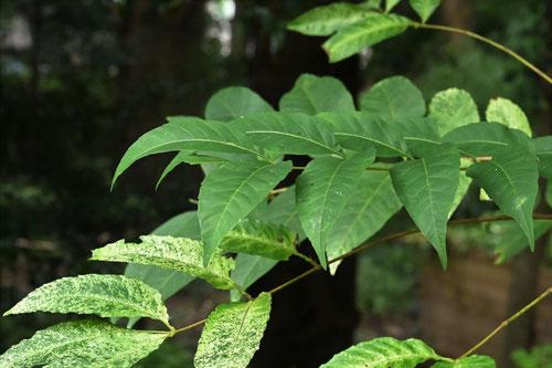 チャンチンの木