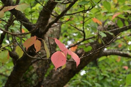 オオヤマザクラ,紅葉