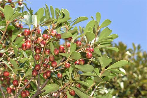 木斛 赤い実