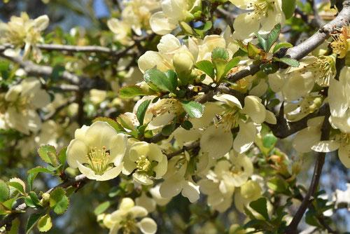 クサボケの品種,黄色いボケの花