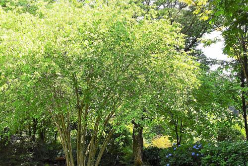 turibana,tree