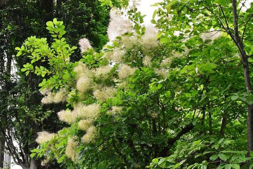 スモークツリー,種類,白い花