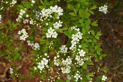 ユキヤナギ 開花時期