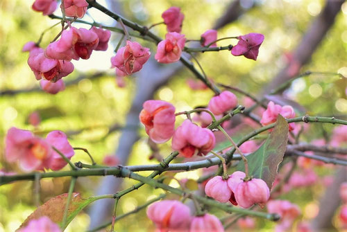 spindle tree,picture
