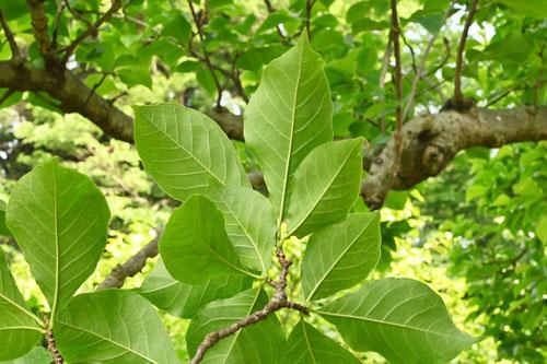 木蓮の葉っぱ