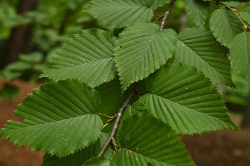 アズサの木の葉,お印