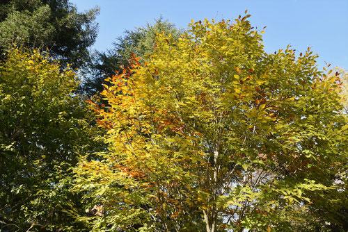ブナの葉っぱ 画像 実 木