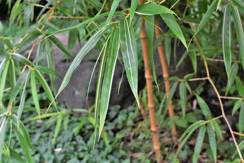 オウゴンチクの葉っぱ
