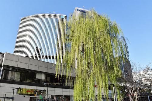 しだれ柳の街路樹