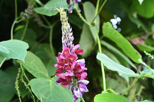 葛の花,開花時期