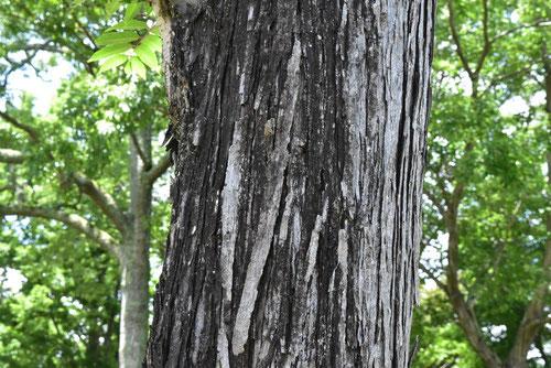 Chinese cedar,trunk