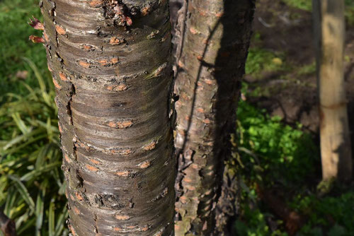 Wild Himalayan Cherry,trunk