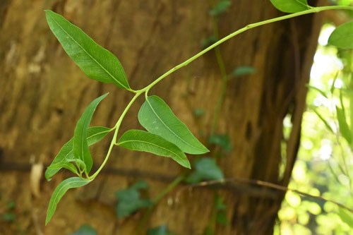 コアラの木 ユーカリ