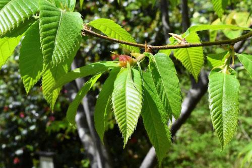 栗の木の葉っぱ