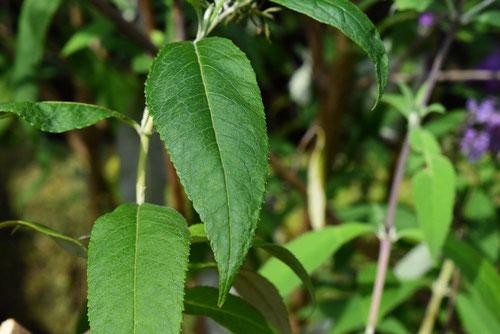 藤空木,ぶっどれあ,葉っぱ