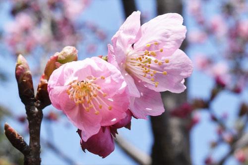 陽光桜の木の花